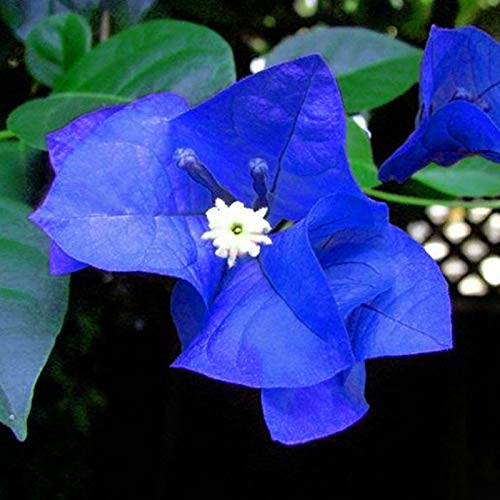 DaDago 100 Unids/Pack Semillas De Buganvillas Bougainvillea Azul Único Spectabilis Garden Perenne Bonsai Plant Flower Plantas