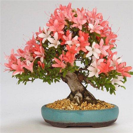 il-nuovo-arrivo-5-semi-di-azalee-semi-perenne-fiore-semi-per-giardino-in-bonsai