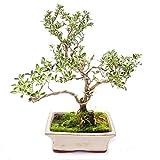 Outdoor Bonsai - Serissa foetida variegata - Junischnee - Baum der 1000 Sterne...