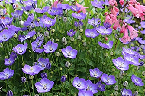 Campanula 'Samantha' : garden tested, hardy perennial plant supplied in a half litre pot