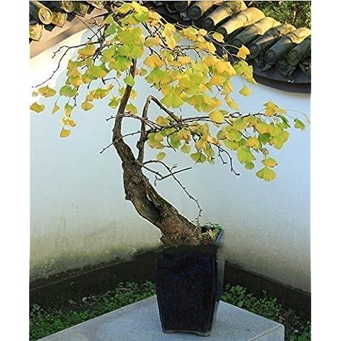 5seeds / pack Plantas Bonsai barato mágica antigua del follaje, amarillo de oro en maceta, semillas de Ginkgo
