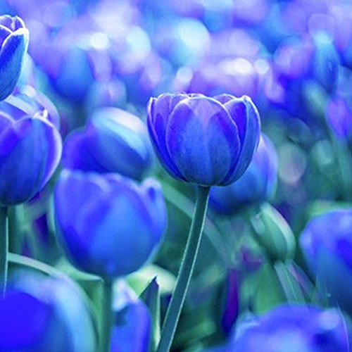 3Pcs Variety Tulip Bulbs Seeds B...