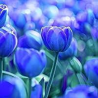 WuWxiuzhzhuo - 100 Unidades de Semillas de Tulipán de Gran Variedad de Flores para Decoración de Plantas en el hogar y Jardín, 3pcs Pure Blue Tulip Bulbs