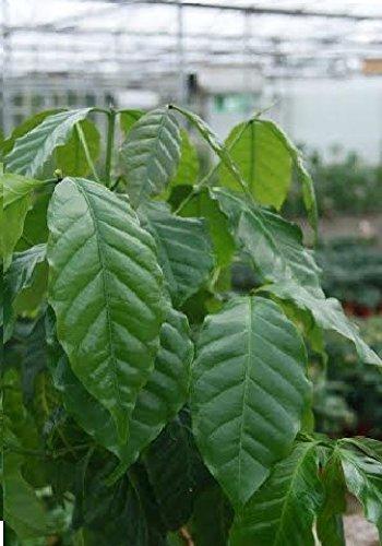 House Piante - Coffea arabica nana - Coffee Piante - 15 Semi