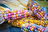 Portal Cool Glass Gem Corn - Der Schönste Mai in der Welt, Original-Rare 100 Seeds