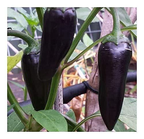 Chili Black Hungarian - Chili schwarz - 10 Samen
