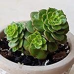 "Meadows | Sempervivum Arachnoideum""Tectorum"" succulent live plant | (Laxmi vishnu kamal/Roof houseleek/Thunder plant"