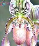 Erweiterte Zierpflanzen 100pcs Blumensamen Die Welt Seltene Wasser Schmetterling Orchidee Samen Bunte Töpfe Bonsai Samen Garten