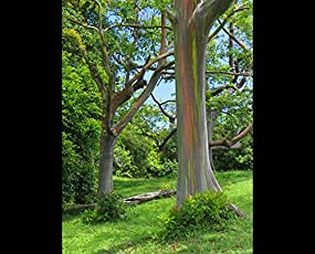 Tree Seeds : Grand Eucalyptus Seeds - 200 Seeds For Growing By Creative Farmer