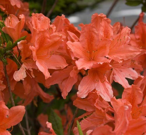 Plant World Seeds – Rhododendron Japonicum Seeds