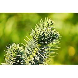 Araucaria araucana - Chilenische Araukarie - Schmucktanne - verschiedene Größen (40-50cm - 3Ltr.)