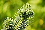 Araucaria araucana - Chilenische Araukarie - Schmucktanne - verschiedene Größen (80-90cm -10Ltr.)