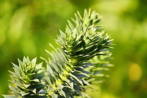 Araucaria araucana - Chilenische Araukarie - Schmucktanne - verschiedene Größen (35-40cm - 1 Ltr.)