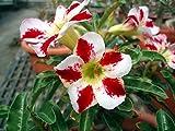 Un pacchetto 100 Pz FlowerRecord Hippeastrum Sementi Sementi terrazza sul tetto giardino patio con giardino Barbados Lily semi di fiore in vaso Bonsai