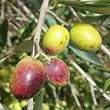 Las semillas orgánicas: Frantoio - 2 a 3 pies por Tl Farmerly