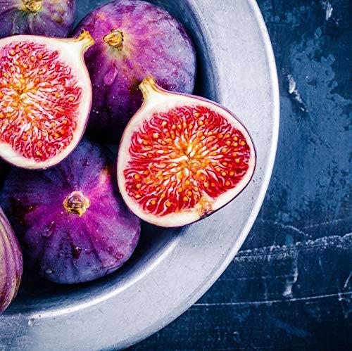 PLAT FIRM GERMINATIONSAMEN: Violette du Bordeaux Feige Ficus Carica Lebende Pflanze Negronne Petite Figue de Violet