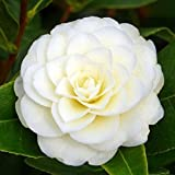 1 X CAMELLIA JAPONICA 'GOLDEN ANNIVERSARY' BUSHY EVERGREEN SHRUB PLANT IN POT