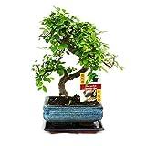 exotenherz Pflanzen, Zimmerbonsai - Chinesische Ulme - 15 cm Schale - S-Form, grün, 30 x 30 x 52 cm, 113608022017