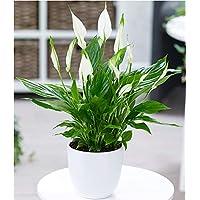 BALDUR-Garten Spathiphyllum, 1 Pflanze Zimmerpflanze Einblatt
