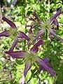 Clematis Aromatica 60 - 100 cm von Baumschule Pflanzenvielfalt bei Du und dein Garten