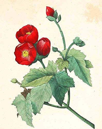 JH Lacrocon Pierre-Joseph Redoute - Malva Purpurea Leinwandbilder Reproduktionen Gerollte 45X60 cm - Blume Gemälde Gedruckt Wandkunst