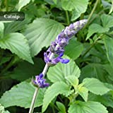 Minze Samen Kraut Pflanzen Parfüm Minze Zitrone Minze Pfefferminze Katzenminze Samen 100 Teile/paket