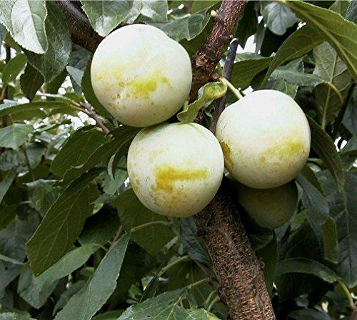 Pflaumenbaum, Oullins Reneclode, Prunus domestica, Obstbaum winterhart, Pflaume gelb, im Topf, 120 - 150
