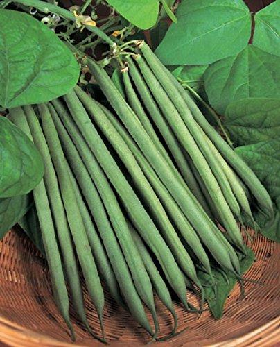 dwarf-green-bean-sprite-175-finest-seeds