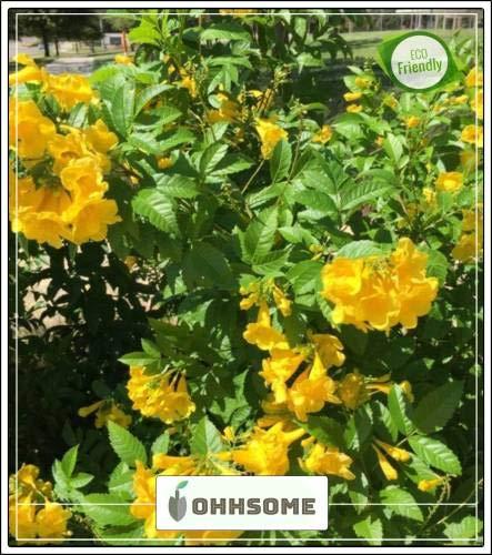 Pinkdose Ingwer-Thomas gelbe Blume Creeper Blume Pflanzensamen für Boundary Blüte Pflanzensamen Garden Pack-Seed -