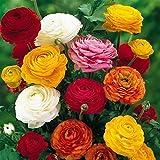 BULBOS DE FLORES para una floración de primavera/verano/otoño (10, Ranúnculo Mezcla)