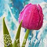 Go Garden ¡El precio más bajo!2 unidades/lote Rare Bulbos de tulipanes Variedades de tulipanes Flores de raíz bulbosa fresca Jardín de bonsáis de flores de alto grado, K: 5