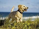 Artland Qualitätsbilder I Wandtattoo Wandsticker Wandaufkleber Martin Valigursky Hundebaby springt am Strand Tiere Haustiere Hund Fotografie Creme A6MR