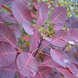 Cotinus coggyria var.royal purple - Arbol de las pelucas - Maceta de 3Litros