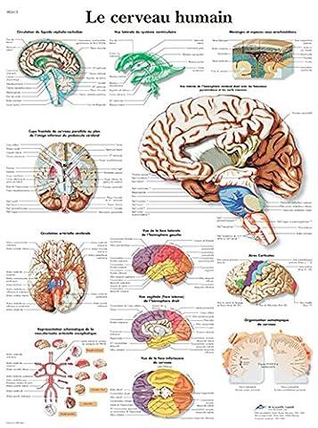 Poster Anatomie - Planche Anatomique le Cerveau