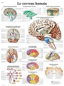 Planche Anatomique le Cerveau Humain