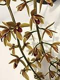 1 blühfähige Orchidee der Sorte: Cymbidium devonianum x Maddidum 'Super Vert' , traumhafte Orchidee vom deutschen Züchter
