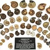 Mini Paire d'ammonites de 25–30 mm
