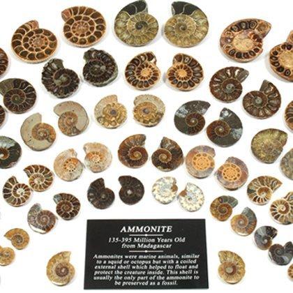 Mini Paire d'ammonites de 30-40 mm