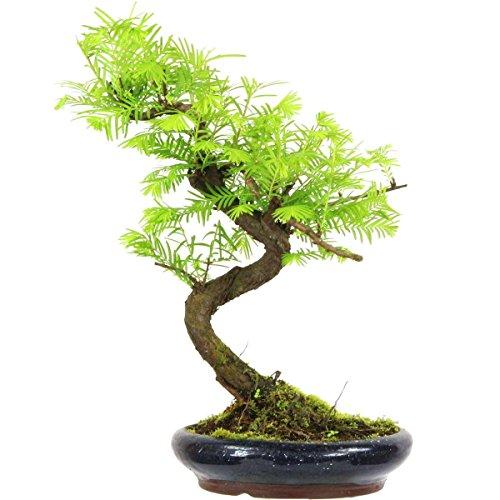 metasequoia-bonsai-10-ans-35cm