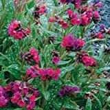 lichtnelke - Lungenkraut (Pulmonaria saccharata ' Raspberry Splash ' )