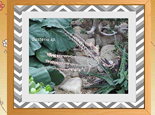 Gasteria sp. 2017: Cactus (English Edition)