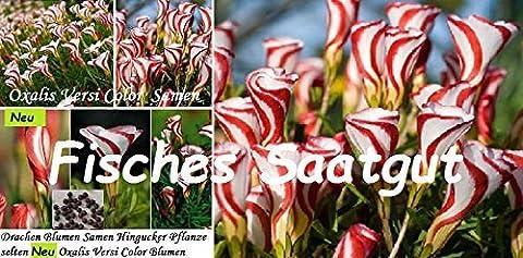 25x Drachen Blumen Samen Hingucker Saatgut Pflanze selten Oxalis Versi Color Garten #5