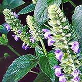 Portal Cool Semilla de Plantas Chia Salvia Hispánica Blanca Semillas a Granel de la Salud Dieta de Floraciã³n 100 Semillas