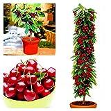Murieo 10 Stücke Kirschbaum Samen, Obstbaum essbare süße Kirsche, Köstliche Prunus Avium Süße Essbare Frucht Festigkeit und Geschmack (10 Stücke)