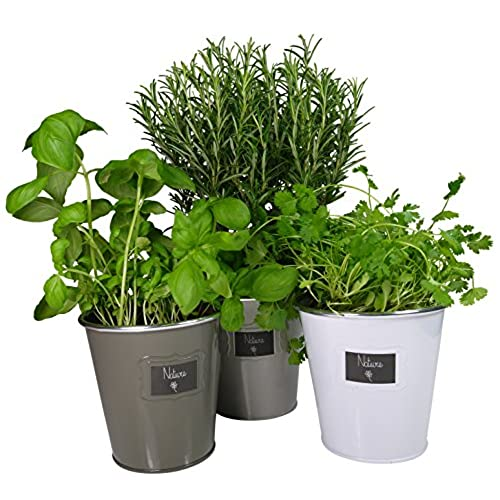 Plante aromatique for Plante aromatique cuisine