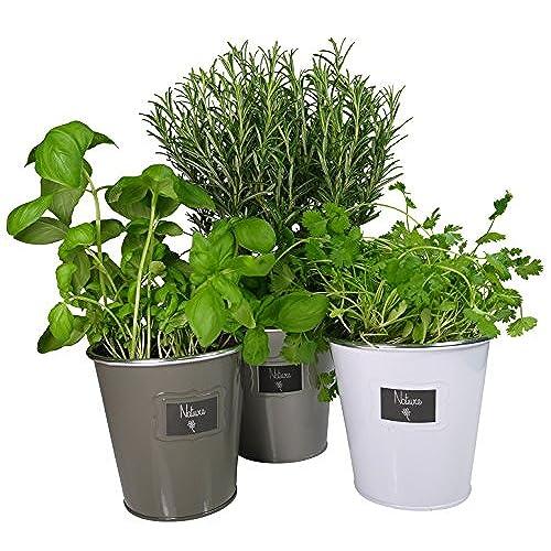 Plante aromatique for Plantes aromatiques