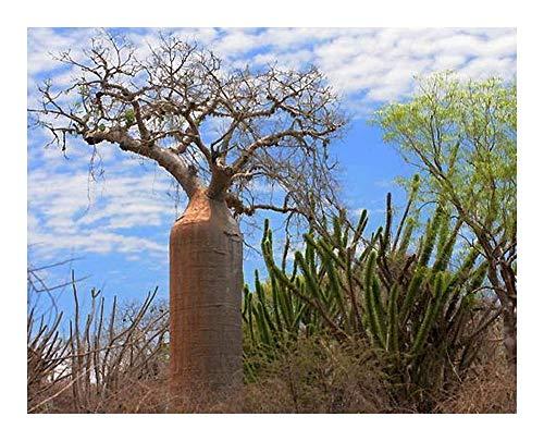 Adansonia fony - Baobab Fony - 3 graines
