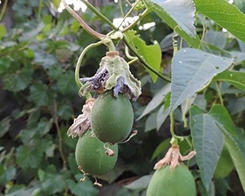 Portal Cool Kaufen, 3 2 Free Rare Baumsamen 20Pcs Passionsblume (Passiflora Incarnata) Mix Bonsai