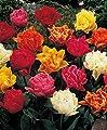 50 Gefüllte gemischte Tulpenzwiebeln Blumenzwiebeln Tulpen von Blumenhandel Ullrich bei Du und dein Garten