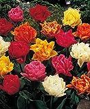 50 Gefüllte gemischte Tulpenzwiebeln Blumenzwiebeln Tulpen